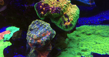 Some stunning chalice corals