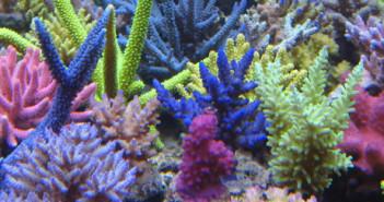 Korallen-Zucht