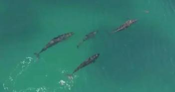 false-killer-whales