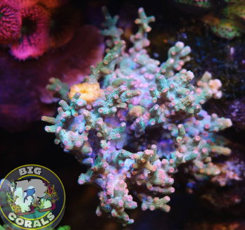 Big R Corals AQUA BRANCHING CYPHASTREA