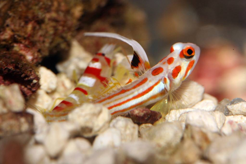 416967-tropical-fish-underwater-sea-life-yasha-white-ray-shrimp-goby-stonogobiops-yasha