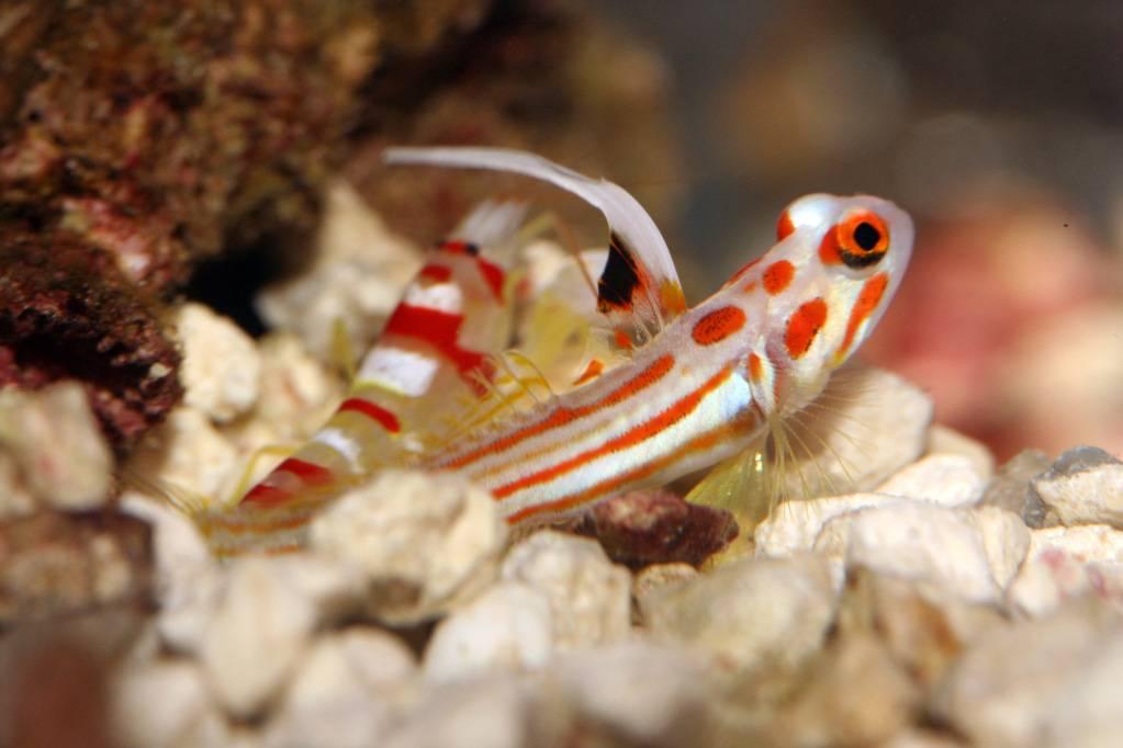 416967-tropical-fish-underwater-sea-life-yasha-white-ray-shrimp-goby-stonogobiops-yasha