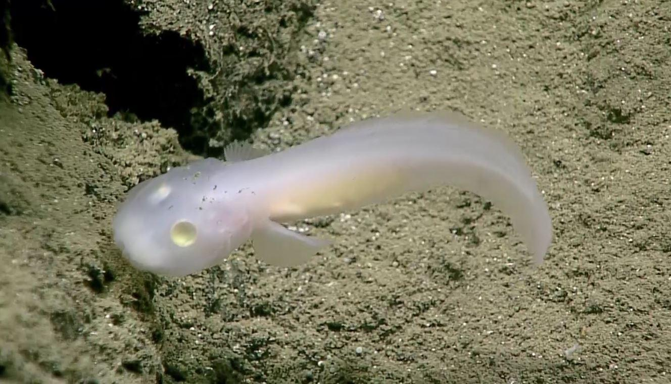 This fish, in the little-known family Aphyonidae, was found by a team aboard the NOAA ship Okeanos Explorer at a depth of 2,500 meters (8,200 feet) in the Marianas Trench. NOAA OKEANOS EXPLORER