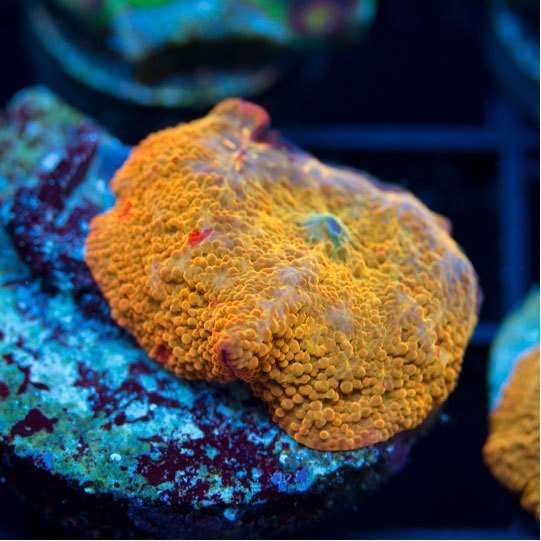 AquaNerd-Featured-Coral-Aug-1-2016