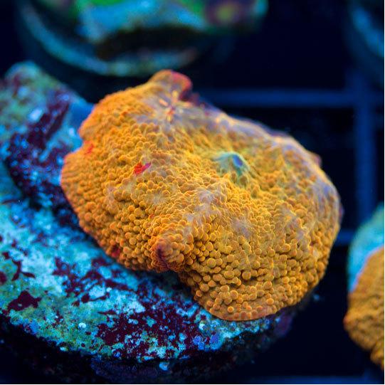 AquaNerd-Featured-Coral-Aug-1-2016