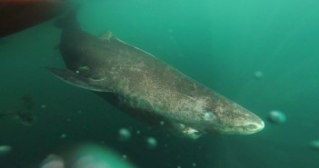 A Greenland shark slowly swims away from a boat in northwestern Greenland. A new report says this species of shark is Earth's oldest living animal with a backbone. (Julius Nielsen/Via AP)