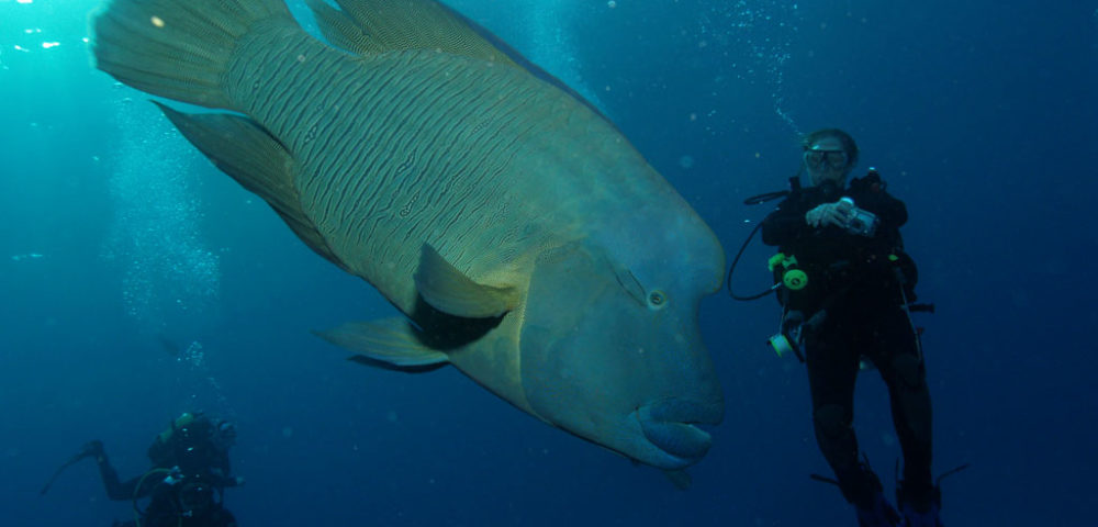 HUMPHEAD-wrasse-1000x480