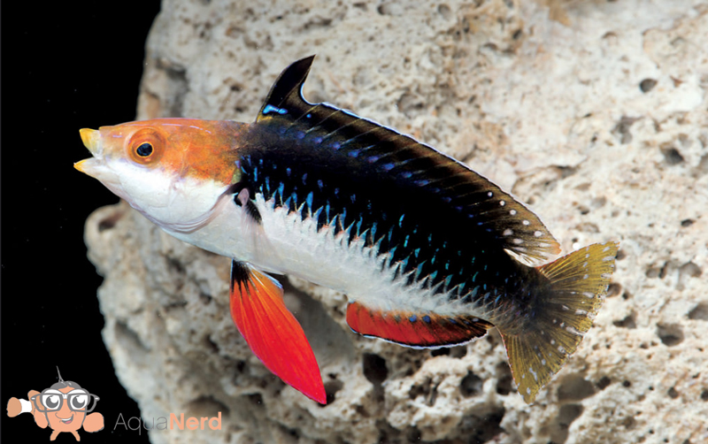 Monsoon-Wrasse-1