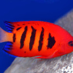 Flame Angel Coloration - Adult