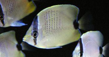 ac-lemon-miliaris-butterflyfish-6