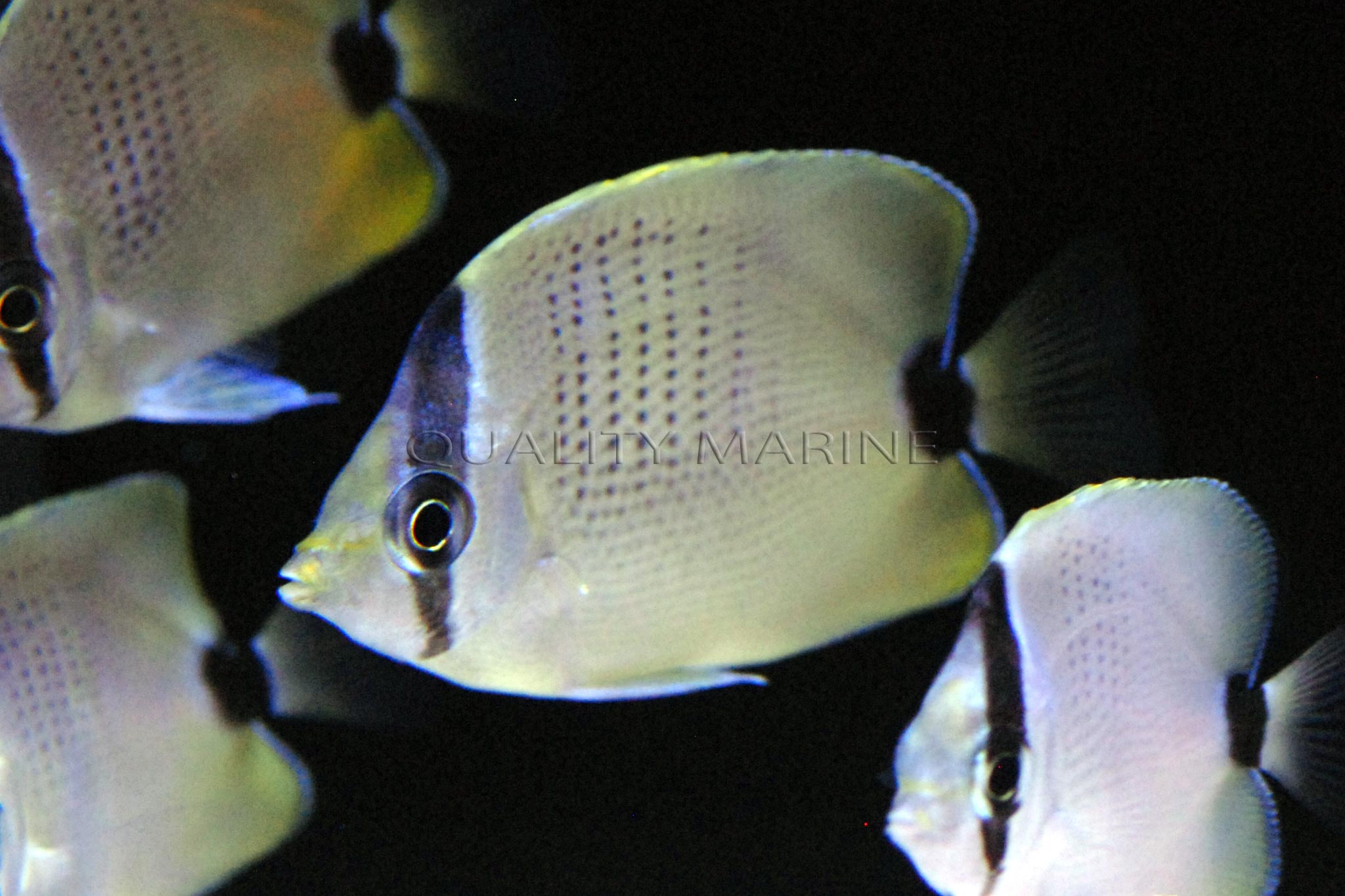 ac-lemon-miliaris-butterflyfish-6