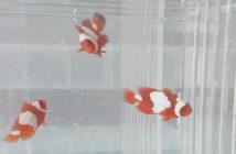 Maroon Snowflake Clownfish