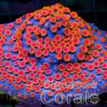 Photo Credit: Jason Fox Signature Corals - WWC Bizarro Cyphastrea