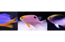 Chrysiptera-damsel-fish
