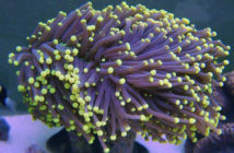 Featured Coral Of The Week 6 9 2016 Garf Bonsai Acropora Aquanerd