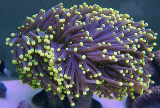 Black-Torch-Coral