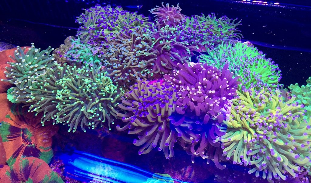 Photo Credit: Wrasseluver - Reef2Reef