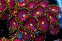 Joe-knows-reefs-taiwan-zoa