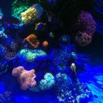 WWC Corals