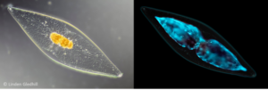 BioGlo dinoflagellates
