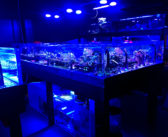 Angels in reef tanks? Yes – but be selective