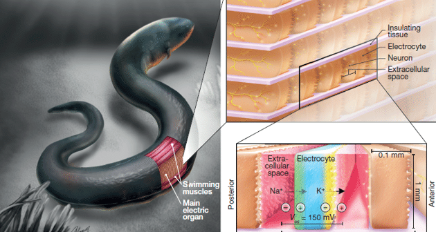 A new kind of soft battery, inspired by the electric eel
