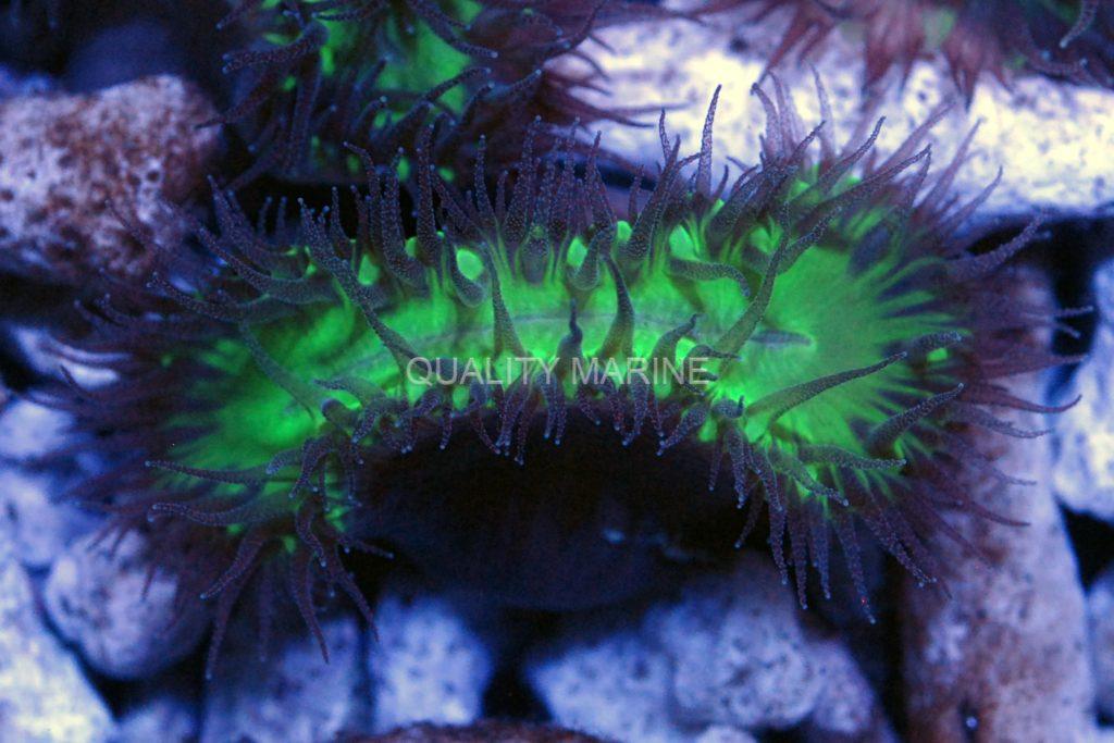 Heteropsammia-cochlea-Green-Walking--Dentro-(1)-watermark