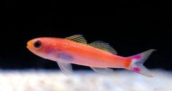Seaver Anthias (Luzonichthys seaver)