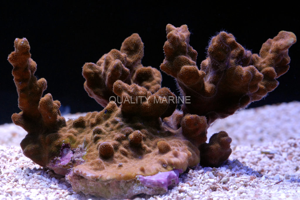 Psammocora-sp-Pillar-waternark