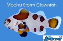 w640_670896_sr_mocha_storm_clownfish