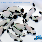 Ultra Premium Phantom Clownfish