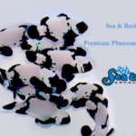 Premium Phantom Clownfish