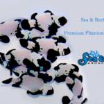 Premium Phantom Clownfish