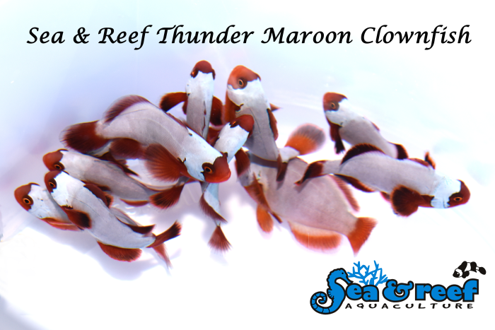 692549_sr_thundermaroon_group-1