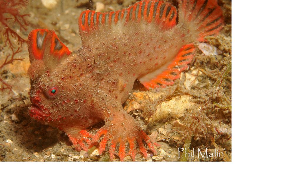 red-handfish-Thymichthys-politus