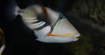 lagoontriggerfish_andydehart