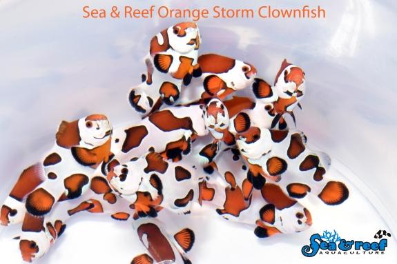 SR_Orange_Storm_Clownfish_group1