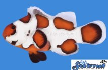 s&r_orange_storm_clownfish