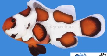 s&r_orange_storm_clownfish