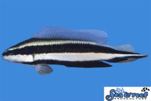 Striped Dottyback (Pseudochromis sankeyi)