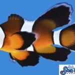 Longfin Mocha
